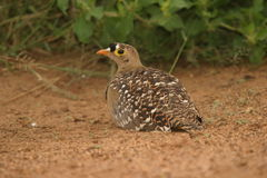 Double-banded Sandgrouse Male. We saw the sandgrouse on a game-drive one afternoon in the reserve Stock Photos