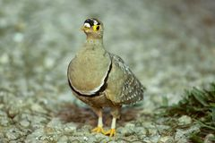 Double-banded Sandgrouse Royalty Free Stock Photo