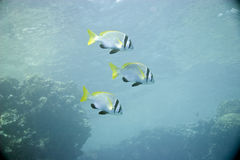 Double bar bream (acanthopagrus bifasciatus). Taken in Na'ama Bay Royalty Free Stock Photos