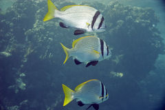 Double bar bream (acanthopagrus bifasciatus). Taken in Na'ama Bay Royalty Free Stock Images