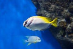 Double-bar rabbit fish. stock photography