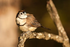 Double-barred finch Stock Photography