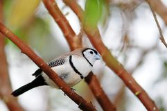 Double-barred Finch Bird Royalty Free Stock Photos