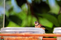 Double-barred Finch bird eating, Florida Royalty Free Stock Photography