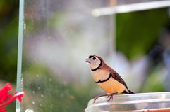 Double-barred Finch bird eating in Florida Royalty Free Stock Photography