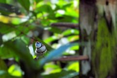 Double-barred Finch bird. Double-barred Finch (sometimes referred to as Bicheno's Finch; and also as Owl Finch) in an aviary in Butterfly World, South Florida Stock Photos