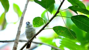 Double-barred Finch bird on tree branch in aviary Stock Photos