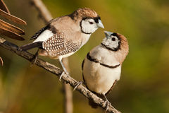 Double-barred finch couple Stock Photography