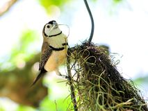Double-barred Finch or Owl Finch bird Royalty Free Stock Image
