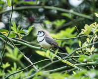 Double Barred Finch Royalty Free Stock Photography