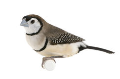 Double-barred Finch - Taeniopygia bichenovii. In front of a white background stock images