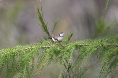 Double-barred finch Royalty Free Stock Images