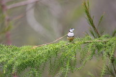 Double-barred finch Royalty Free Stock Photos
