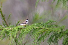 Double-barred finch Royalty Free Stock Image