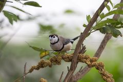 Double-barred Finch Taeniopygia bichenovii. Spotted outdoors in the wild Royalty Free Stock Image