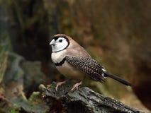 Double-barred finch (Taeniopygia bichenovii) Stock Photography