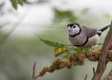 Double-barred Finch Taeniopygia bichenovii. Spotted outdoors in the wild Stock Photo