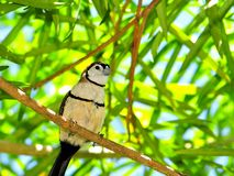 Double-barred or Owl Finch bird in aviary Royalty Free Stock Photos