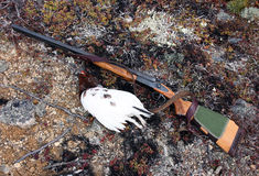 Double-barreled shotgun with a trophy tundra ptarmigan. North-East of Russia Royalty Free Stock Photography