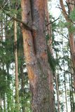 Double, beau pin dans une forêt dense de pin Images stock