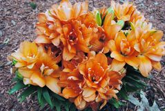Double bloom lily. Bright orange double blooming lily plant in a garden Royalty Free Stock Photos
