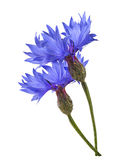 Double blue cornflower isolated on white background Stock Images