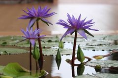 Double blue tropical water lily trio Stock Photos