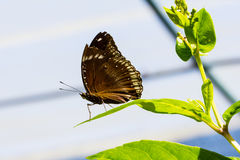 Double brand blue crow butterfly Royalty Free Stock Image