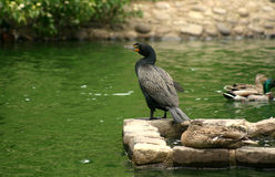 A Double-breasted Cormorant Stock Photos