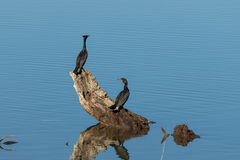 Double Breasted Cormorants Royalty Free Stock Images