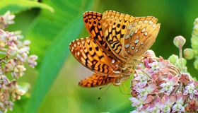 Double Butterflies. Two butterflies near each other side by side drinking from a milkweed plant Royalty Free Stock Photography