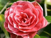 Camellia Admiral Nimitz Royalty Free Stock Photo