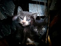 Double cat. Gray and black cat Royalty Free Stock Photos
