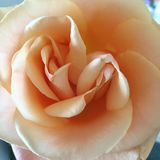 Double centred rose. Unusual double centred rose. It was not evident at first until the rose bloomed Stock Images