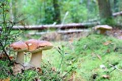 Double cep mushroom grow in wood Stock Image