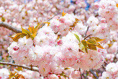 Double cherry blossoms Stock Photo