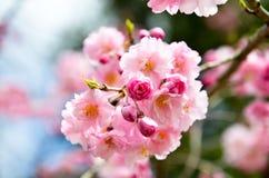 Double Cherry Blossoms along Nakaragi-no-michi Path, Kyoto Stock Photo