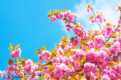 Double cherry blossoms on the background of blue sky cloud Royalty Free Stock Photo