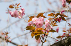 Double cherry blossoms Royalty Free Stock Images