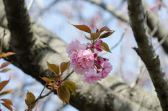Double cherry blossoms Royalty Free Stock Image