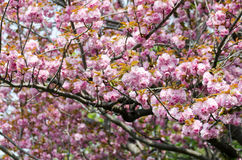 Double cherry blossoms Stock Image