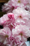 Double cherry blossoms Royalty Free Stock Photography