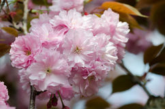Double cherry blossoms Stock Photos