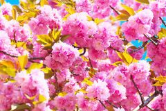 Double cherry blossoms in full bloom Stock Images