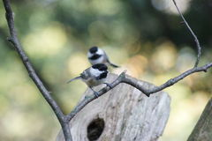 Double chickadees. Two black capped chickadees, one on a branch and second on a log, blurred in the background stock images
