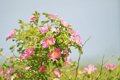 Double Cinnamon Rose, Rosa majalis stock photography