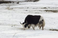 Double-color musk-ox. End of winter, some food, what else is needed for this large animal Royalty Free Stock Photo