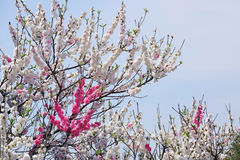 Double color plum blossom Royalty Free Stock Photography