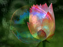 Double color water lily Royalty Free Stock Image
