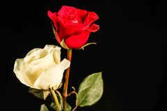 Double colored rose Royalty Free Stock Photography